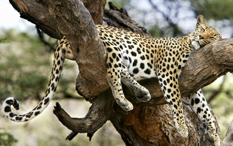 Snow Leopard wallpaper  Download free beautiful High