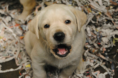A yellow Lab puppy