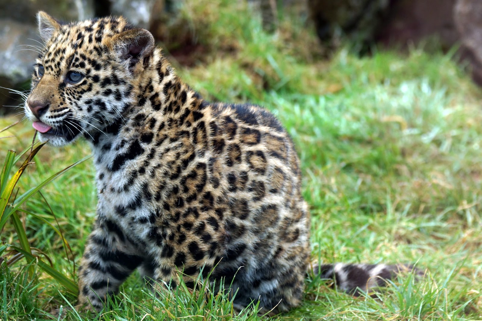 Hello Freckles South Lakes Safari Zoo Baby Jaguar Cub