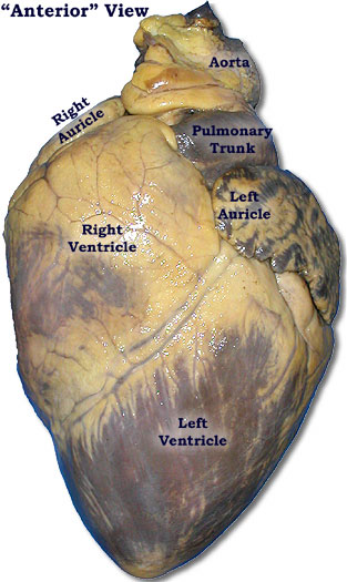 Anatomy of a Cows Heart http://cherlynwonderfultoanatomy.blogspot.com/2012/03/heart-dissection-lab.html