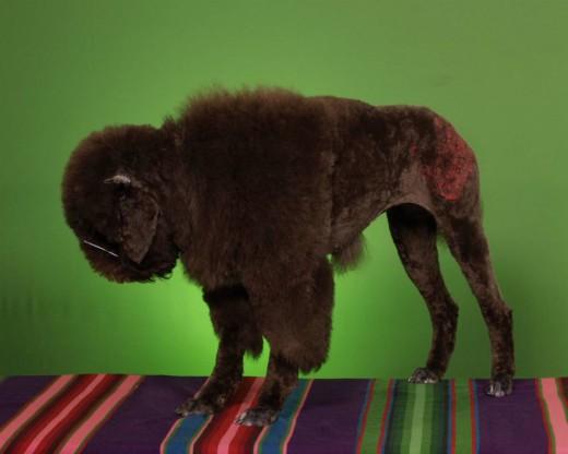 funny dogs haircuts la oddee