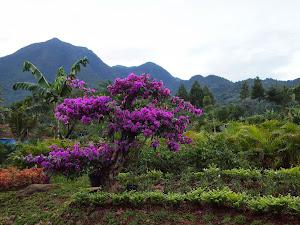 CENTHINI  flower garden