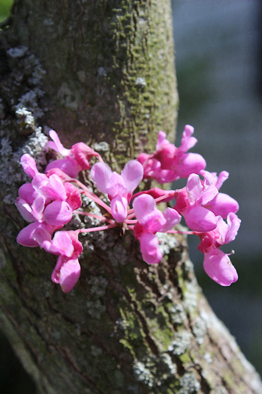 Redbud Sprig Photo by Tori Beveridge AHWT
