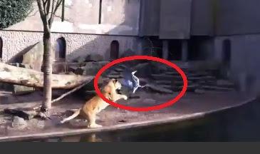 familia de leones se comen a pajaro que cayó a la jaula del zoológico