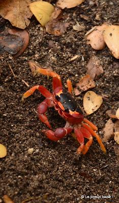 Martinique - pointe de la Caravelle - randonnée - crabe