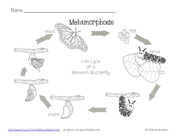 insect metamorphosis worksheet free worksheets library download and print worksheets free on. Black Bedroom Furniture Sets. Home Design Ideas