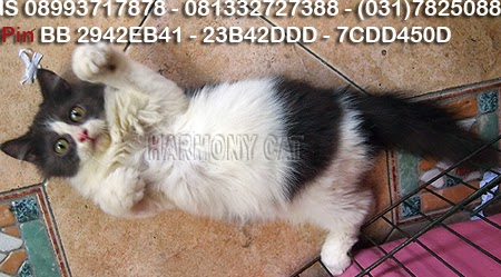 Mei 2014 Jual Beli Kucing Harmony
