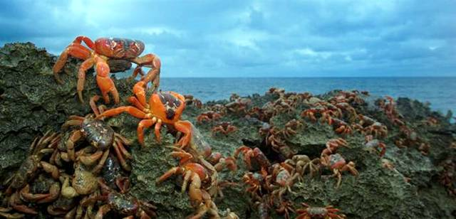 The Amazing Red Crab of Christmas Island