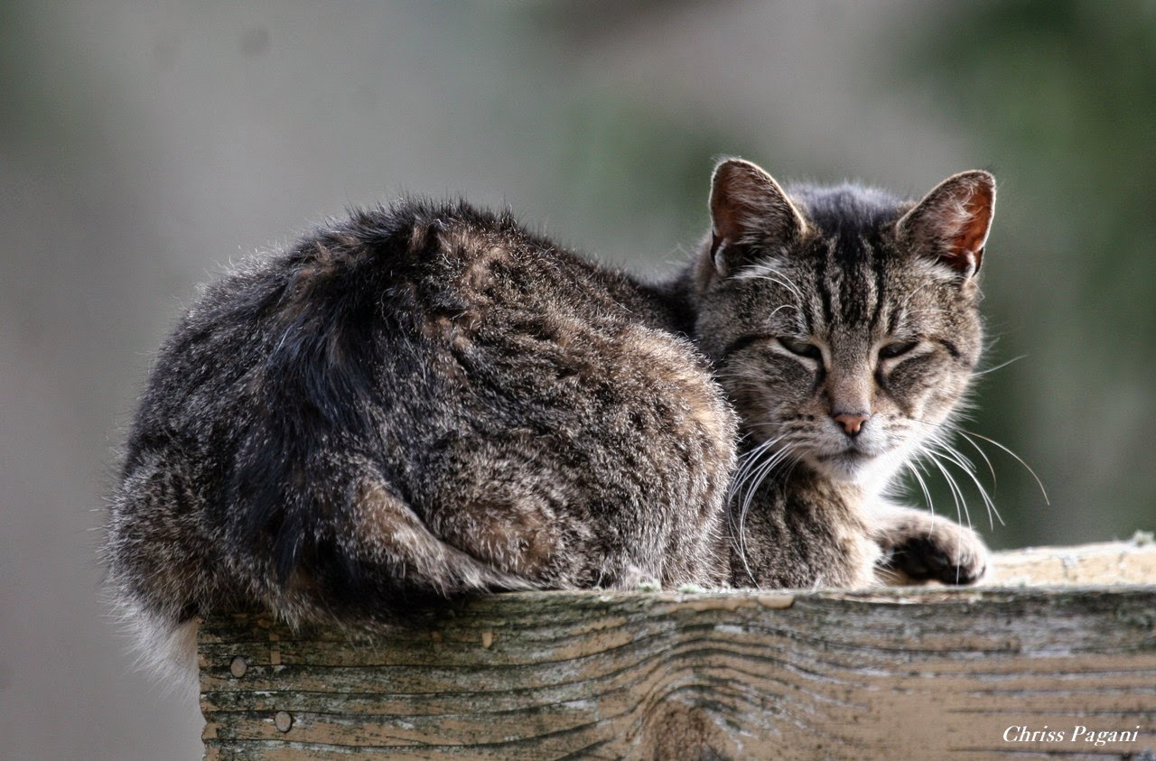 Gizmo the tabby cat on a precarious perch for a nap