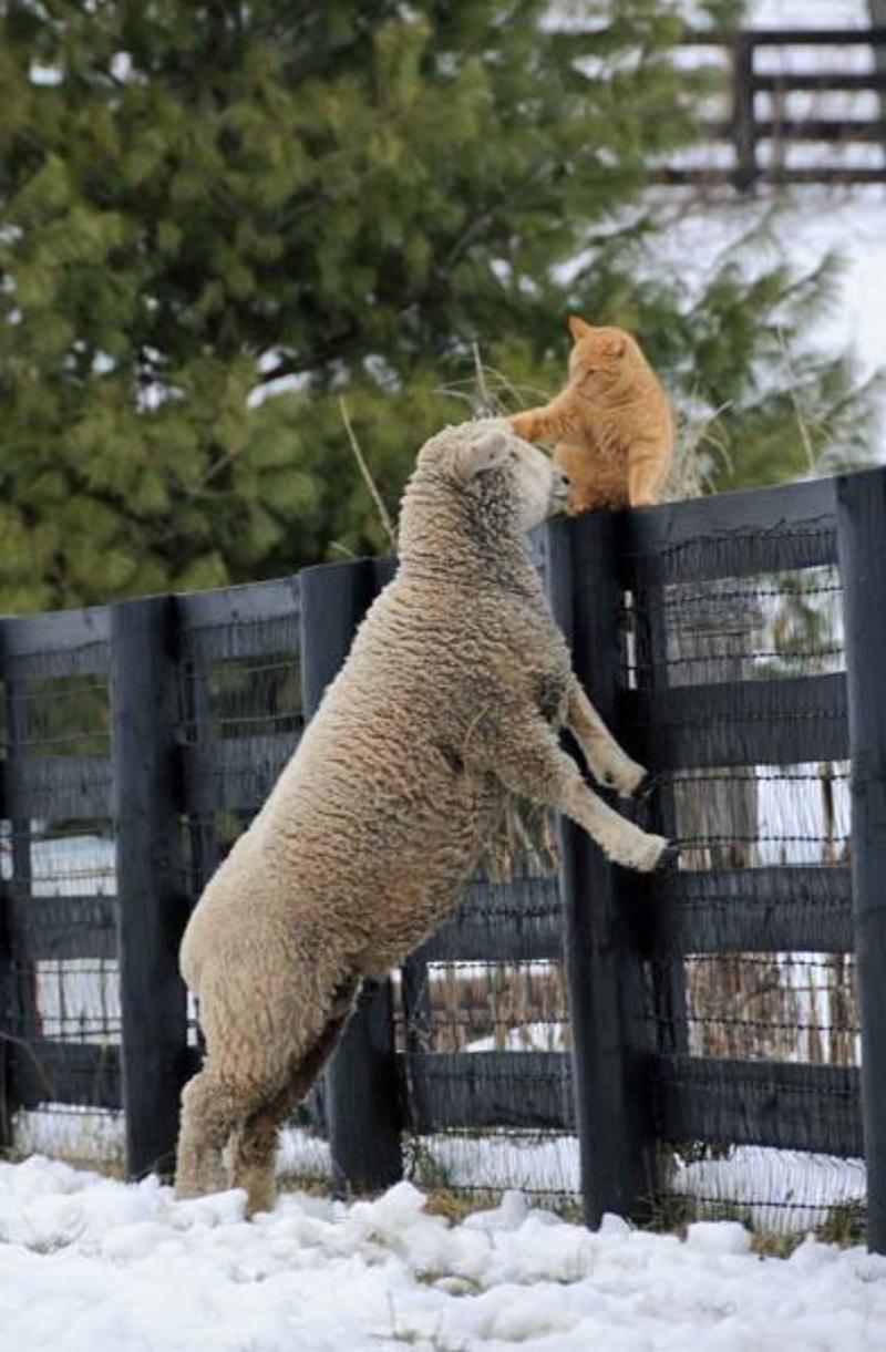 Кот и овца