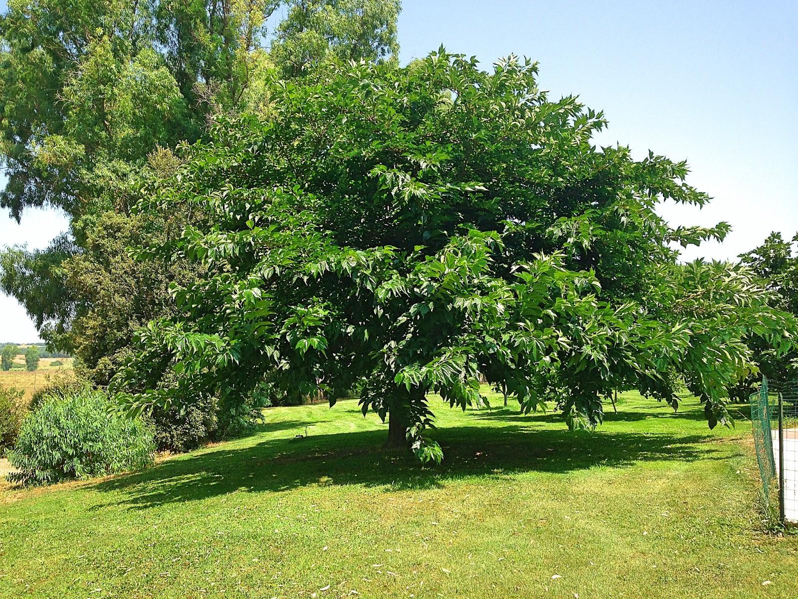 Nina e gli alberi le more di gelso - Albero sempreverde da giardino ...