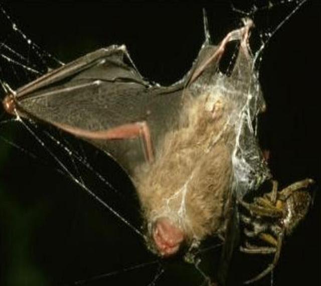 Arañas que comen murciélagos