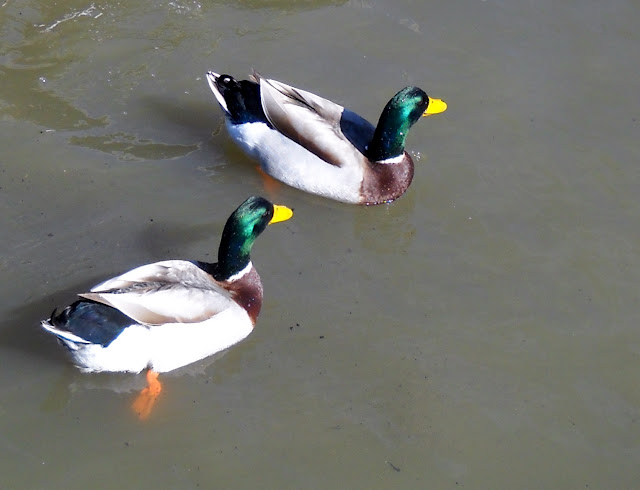 Male Mallard Ducks at White Rock Lake in Dallas, Texas