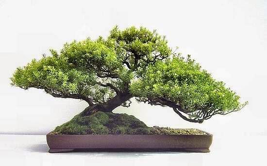 Pembaca kali ini kami akan menyuguhkan berbagai gambar tanaman bonsai ...