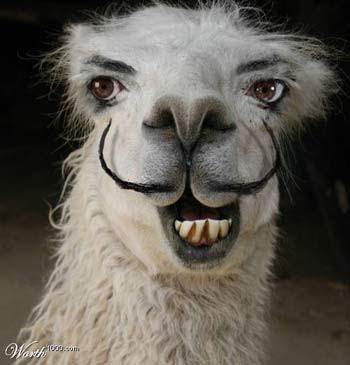 Llama+Moustache.jpg