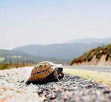 tortuga cruzando carretera