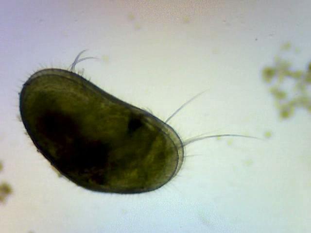 Clam Shrimp (conchostraca)