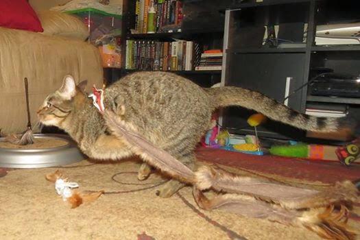 Gato vive com duas patas após acidente e faz sucesso