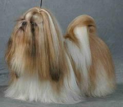 Giống chó Shi Tzu.