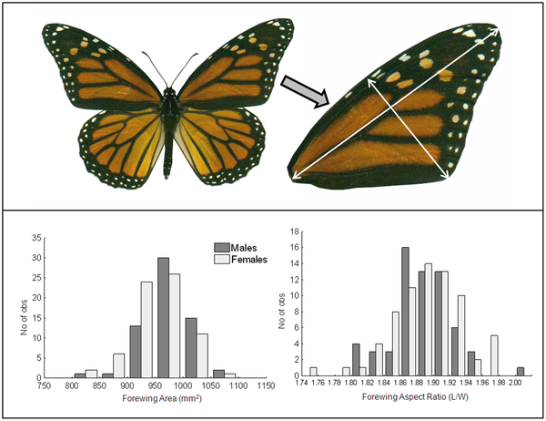 monarch butterflies wing morphology and migratory behaviour Monarch papers 2009‐2014  compass orientation in migratory monarch butterflies  behaviors show divergence in wing morphology evolution 64:.