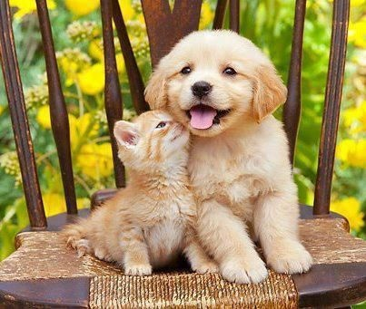 Kitten Kissing her Friend Lab pictures