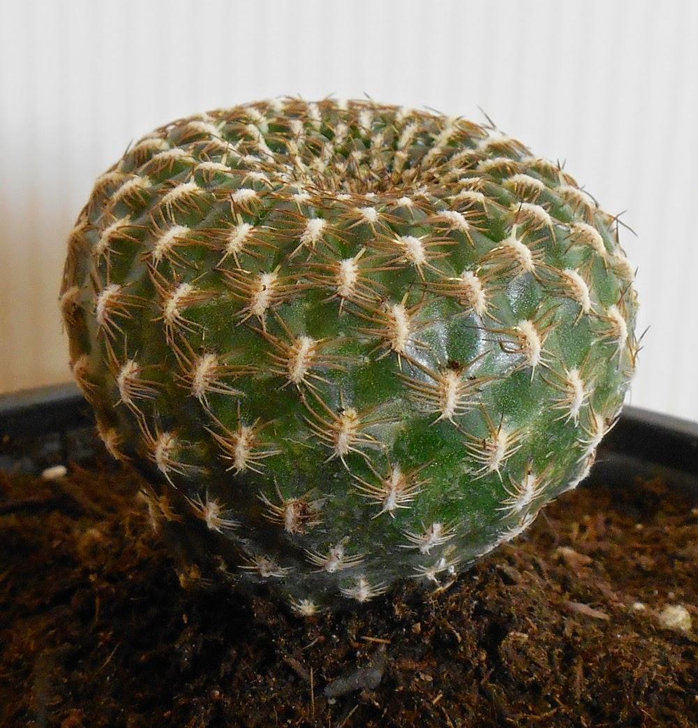 cactus en maceta rebutia