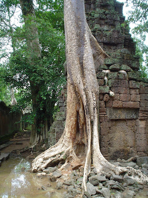 Tall tree of the Temples of Angkor - Cambodia