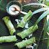 Kuih dadar (pandan crepes with coconut and palm sugar)