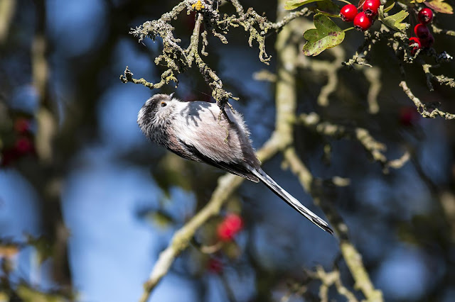 Long-tailed Tit - Wolverton Mill