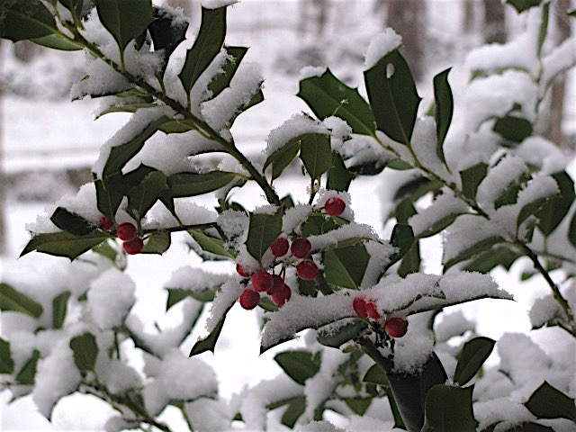The holly and the ivy, When they are both full grown, Of all trees that are in the wood, The holly