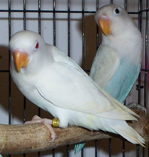 abang kicau mania harga burung lovebird albino mata merah