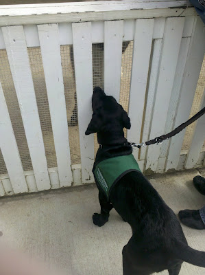Foley sniffing a large animal through a white slatted fence.