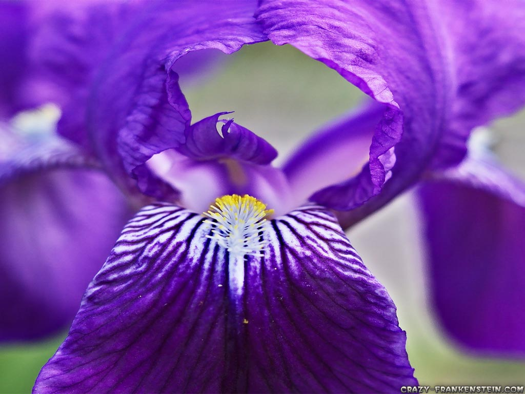 Big Purple Iris Flowers Purple Background Wallpapers