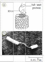 Virus  TMV yang  ditemukan  oleh Wendell M.  Stanley. (a) Struktur  virus TMV yang tersusun atas RNA dan  subunit protein. (b) Hasil  pembesaran virus TMV menggunakan mikroskop elektron