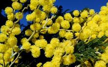 Mimosa, flor sagrada