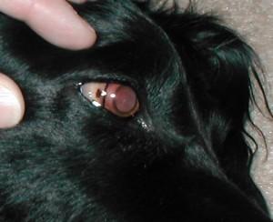 steroid dog allergies