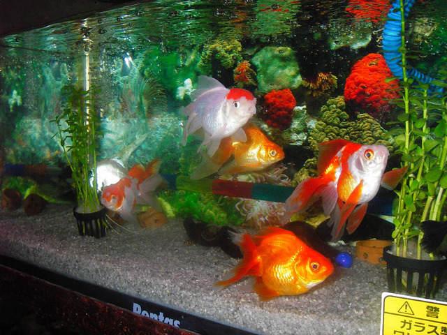 Inti Sari Yuks Pelihara Ikan Hias Air Tawar Di Aquarium