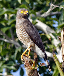ROAD-SIDE HAWK
