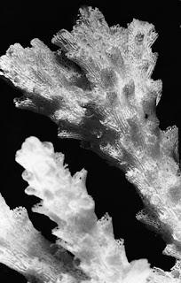 kerangka karang acropora bifurcata