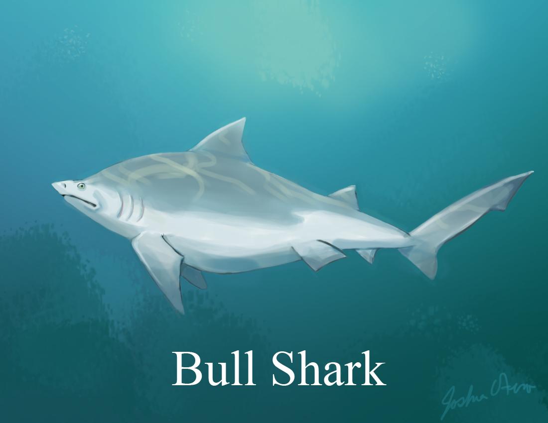 Shark Bull