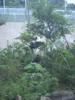 Taipei, Taiwan, Тайвань, Тайпей, зоопарк, панда, zoo, panda