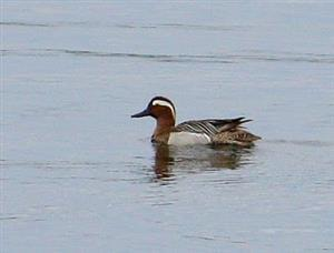 Garganey Duck