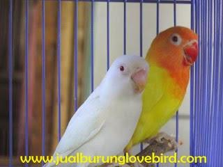 Gambar Cara Merawat Burung Lovebird Albino
