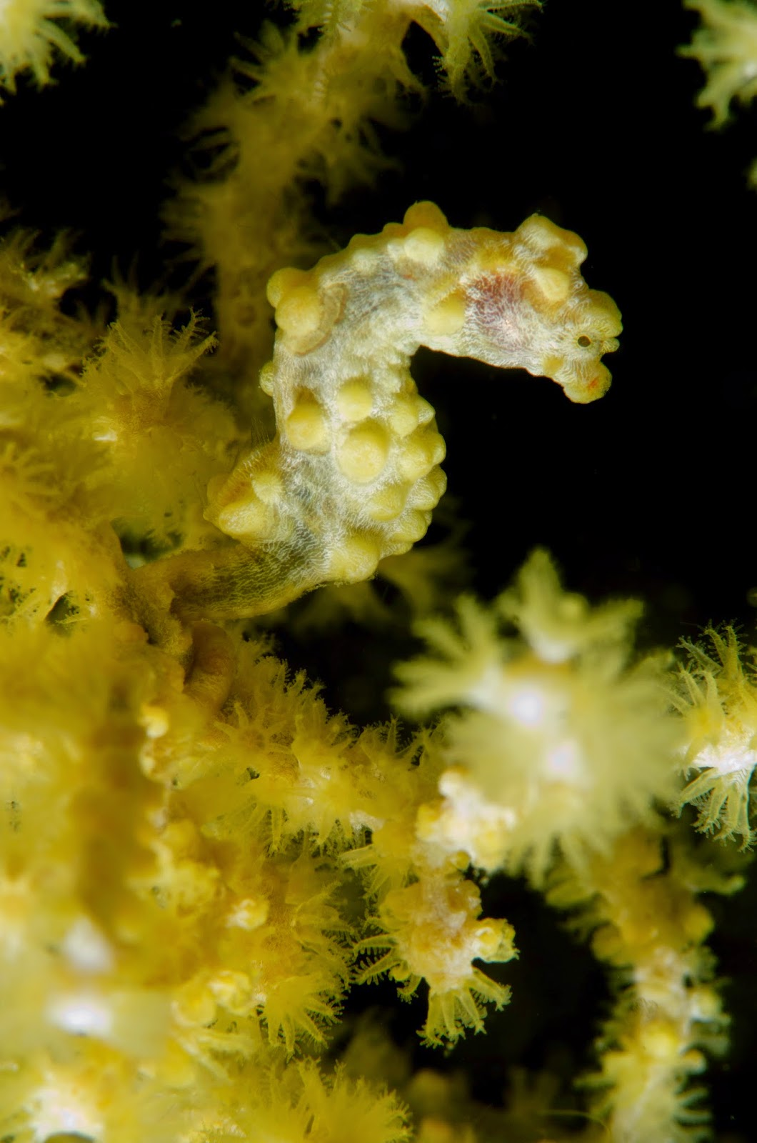 Yellow pygmy seahorse at Exotic Island Dive Resort