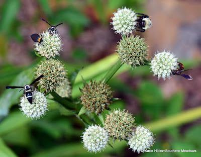 Pollinators on Eryngium yuccifolium