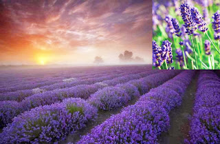 Lavender Flowers Farming Business