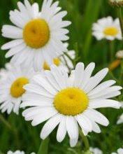 Tratinčice, proljeće slike besplatne pozadine za mobitele download