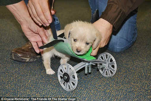 3D printed wheelchair for 2-legged puppy,  two-wheel cart, 14 hours, Ohio University Innovation Center, puppy, two front legs, rescue, shelter,