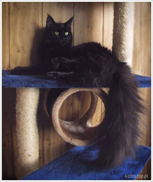kotka czarna hodowla maine coon