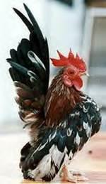 pecinta ayam